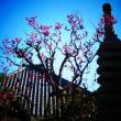 『1月の梅』 善福寺