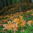 夏の花、森の妖精 レンゲショウマ