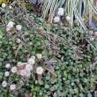 野紺菊の綿毛