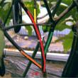 ナスビ栽培、枝葉の整理、主枝4本決定、初収穫