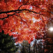 紅葉の真っただ中に嵐に散らされた赤枝垂れもみじ