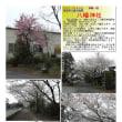 花巡り 「桜-その444」 栗橋 八幡神社