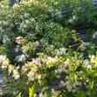 ボタンヅルと仙人草。。。