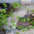 パッションフルーツの苗を移植