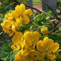 季節の花「コバノセンナ」