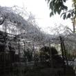 [しだれ桜]玉蔵院