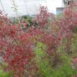 紅葉が盛りのブルーベリー