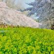今年の桜は、
