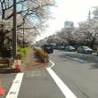 国立大学通りの桜