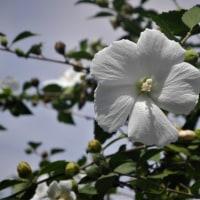 9.11 鎮魂の花としてささげる白のムクゲ