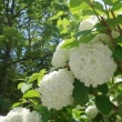 5月の花(オオデマリ、つつじ、牡丹)