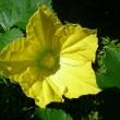 季節遅れのカボチャの花