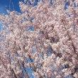 ケイオウ桜が満開