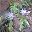 竜胆の花咲けり