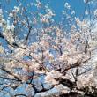 桜はまだかいな〜、もういいよ〜♪