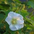 今朝の雲、シロバナヒガンバナ、フヨウの花。きょうの一句は「山葡萄」