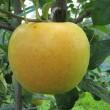 黄色いりんご  きおう
