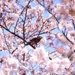 花見の散歩