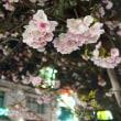 米子市内の夜桜 2018年 桜 NO⑥