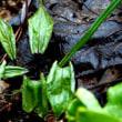 春の花・スミレサイシン1