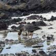 岩場で水を飲んでいた、マガン。 島の鳥②*