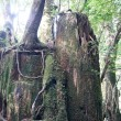 屋久島 その3 (屋久島に上陸。屋久杉自然館、ヤクスギランドへ行く。)
