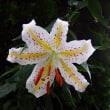 ヤマユリ開花