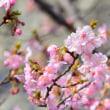 春だ、満開の河津ザクラ。