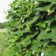 四角豆がたくさん収穫できはじめた
