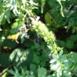 天売島の植物と見かけた鳥