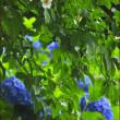 紫陽花と沙羅の花