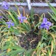 イチハツの花
