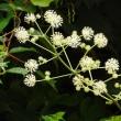 『ウドの花』