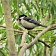 今日の野鳥  カワセミ ・ カイツブリ ・ シジュウガラ