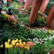 砺波市・「チューリップ四季彩館」の美しさ