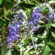 <トウテイラン(洞庭藍)> 花色を中国・洞庭湖の美しい湖水にたとえ
