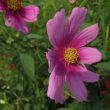 散歩で見た花(シコンノボタン ? クレマチス オオケダケ フウセンカズラ コスモス)
