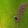 チャバネアオカメムシの卵に寄生蜂