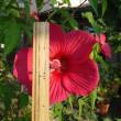 タイタンビカス開花