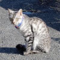 近所の飼い猫1110