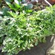 水菜、菊菜  収穫