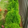 生け垣風のコノテヒバの剪定