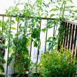 ピーマンとスナックトウガラシを収穫しました