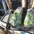 小松菜もなかなか生長しませーん