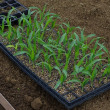 5月12日に播種したゴールドラッシュのセル苗の植え付けを始めました