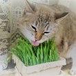 猫草元気に!