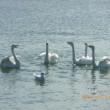北海道道東旅日記29  まさに白鳥の湖!トウフツ湖