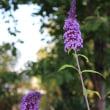 菊の花 3