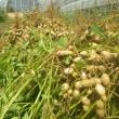 大根土寄せ、レタス定植続き