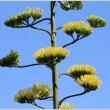 珍しい竜舌蘭(リュウゼツラン)の花